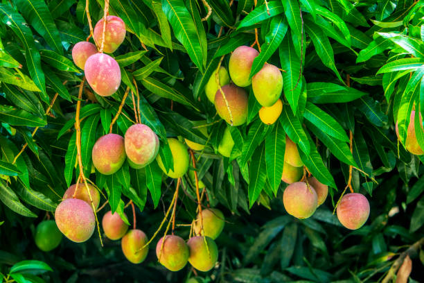 buy Mango Farm With Poultry Feeder