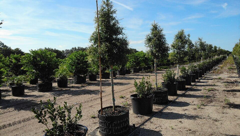 Flourishing tree farm in Florida